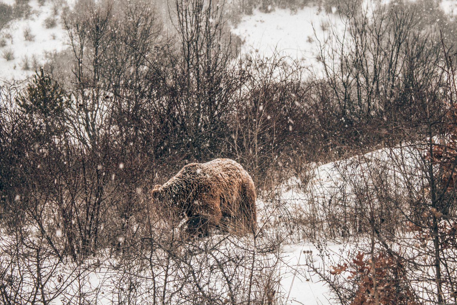 Picture of a brown bear in Kosovo